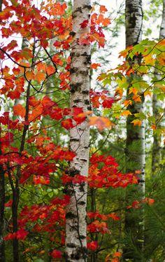 Beautiful fall foliage by a white burch tree.