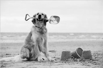 photographic-print-of-jd-21286-dog-golden-retriever-holding-spade-with-sandcastles_17808729